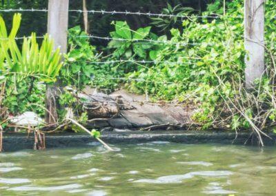 Waran an den Klong in Bangkok