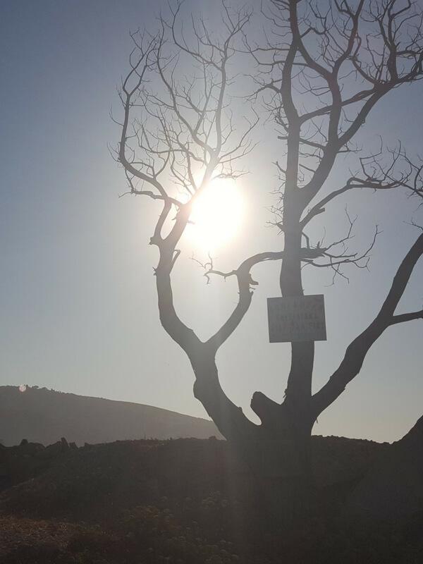 Baum am Hafen von Gialiskaris Ikaria Greece