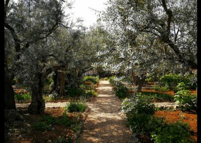 Olivenbäume im Garten Getsemani