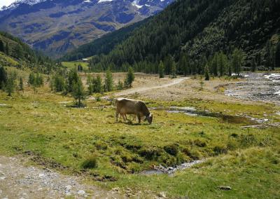 Kuh bei der Melageralm